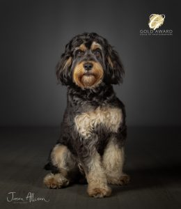 Rab the Cockapoo by Jason Allison Pet Photography