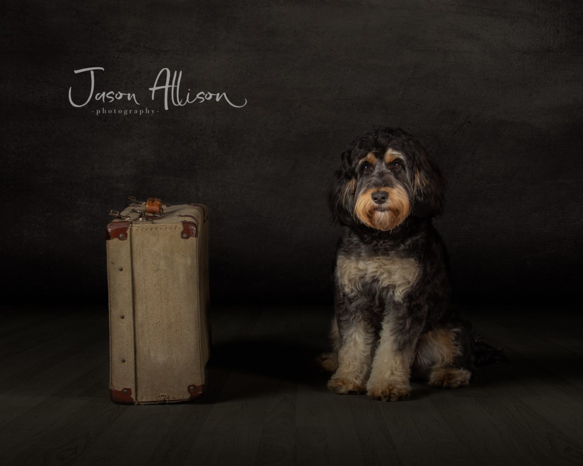 Fine art photograph of a Cockapoo with a suit case