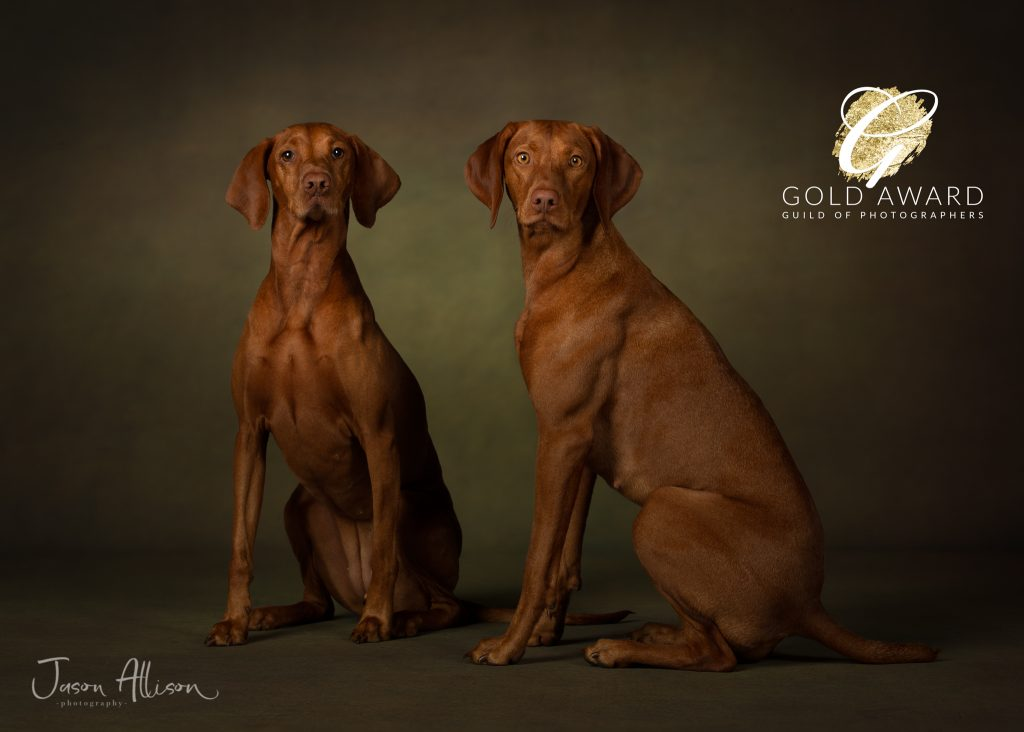Photographic portrait of two Vizsla