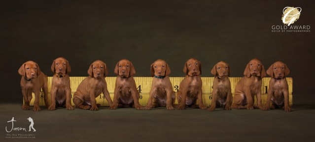 Vizsla Puppy Litter by Jason Allison Pet Photography