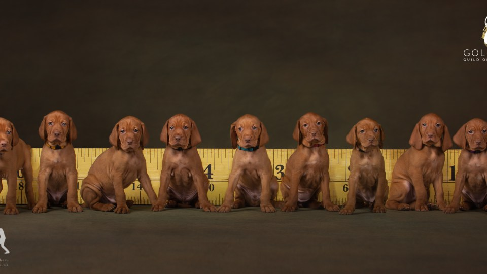 Vizsla Puppy Litter by Jason Allison Pet Photography