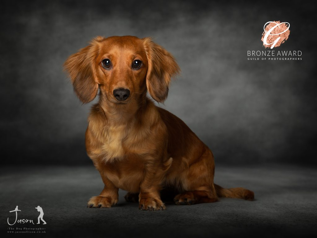 Ruby the Dachshund by Jason Allison Dog Photography