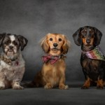 Jasper the Shih Tsu, Darwin & Darcy the Dachsunds by Jason Allison Dog Photography