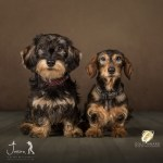 Jason Allison Pet Photography Dachshunds Maggie and Martha, half sisters
