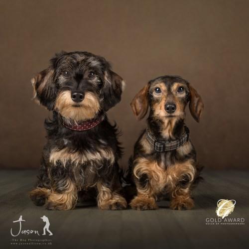 Jason Allison Pet Photography Dachshunds Maggie and Martha, half sisters