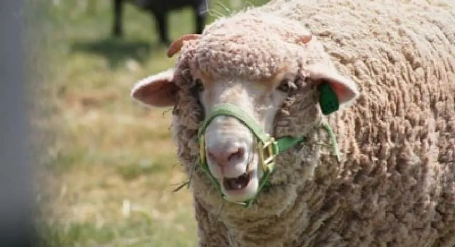 home-on-the-range-sheep-close-up