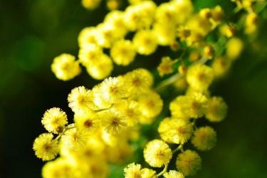 TSDS108320-mimosa-flowers