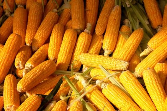corn-9590