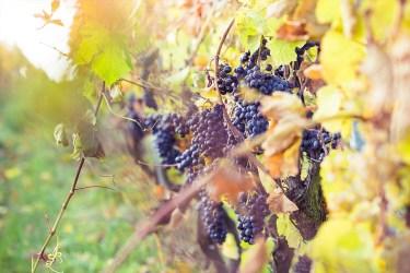 jason-b-graham-grapes-uzum-0015