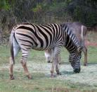 Stripey horse.