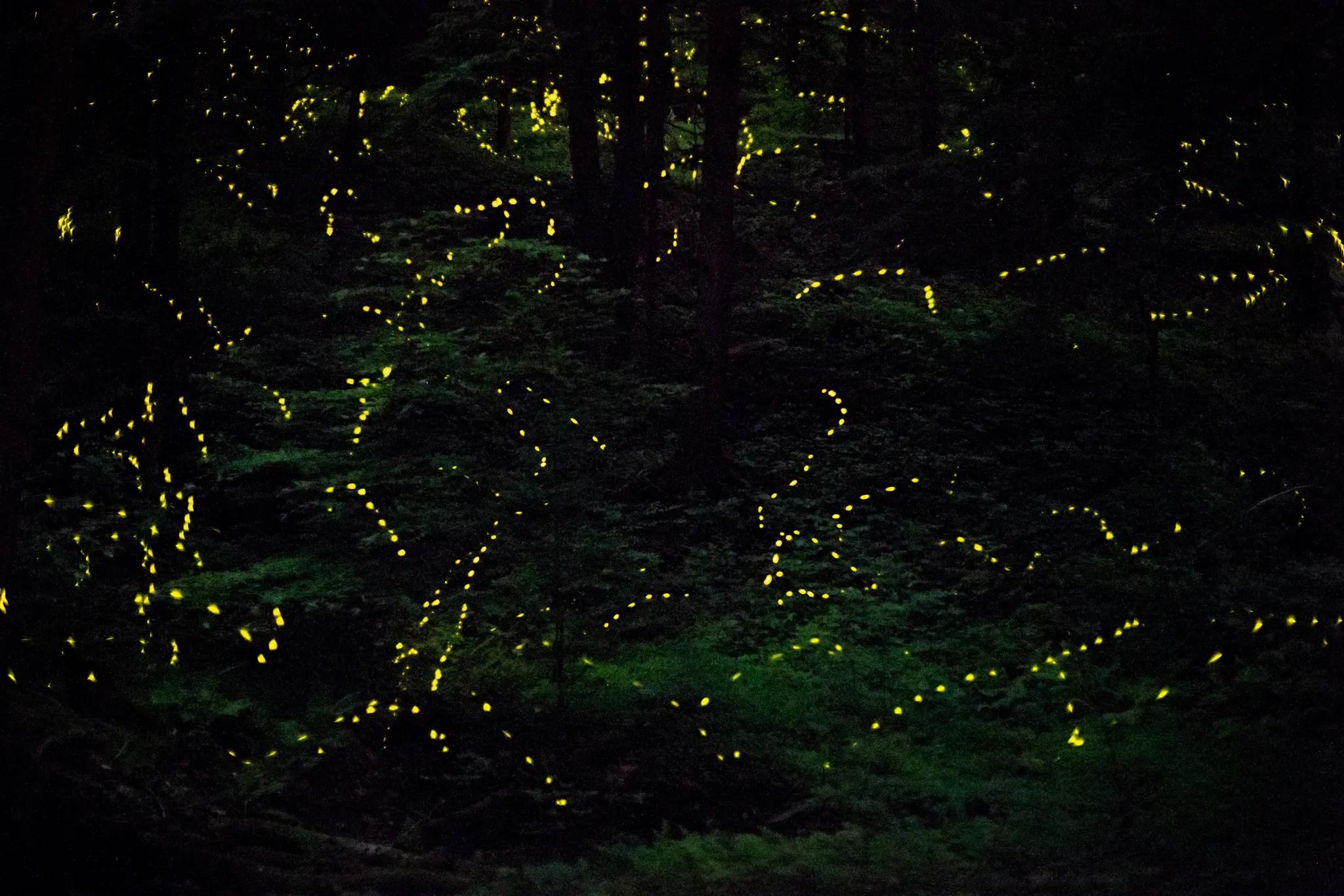 Synchronous fireflies (Photinus carolinus)