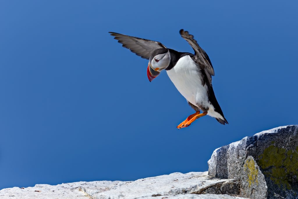 For just a few months, the Puffins call this island home. And they know how to get around the rocks just fine.