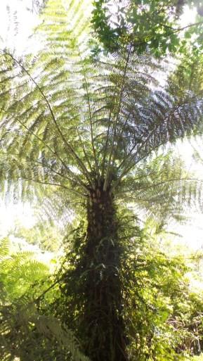 Giant Fern Tree