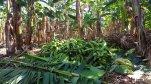 17. Ojo de Agua - Plantains Hike - Plantains