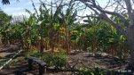 17. Ojo de Agua - Plantains Hike - Trees