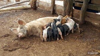 23. Brendan's Farm Piglets Eating