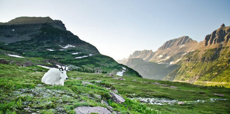 Mountain Goat at Logan Pass - Glacier National Park, Montana
