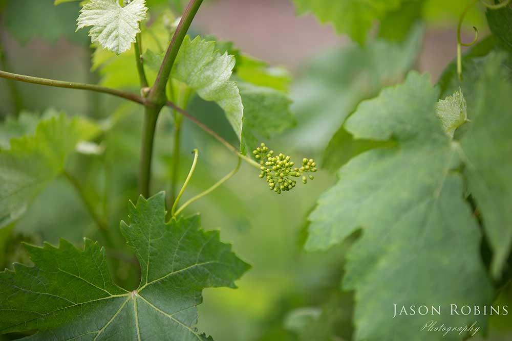 Vineyard preparations at Boynton's Feathertop Winery Wedding Venue in Bright Victoria