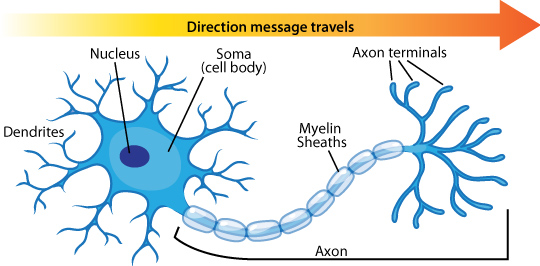 neuron_anatomy