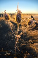 Teasel Sunset