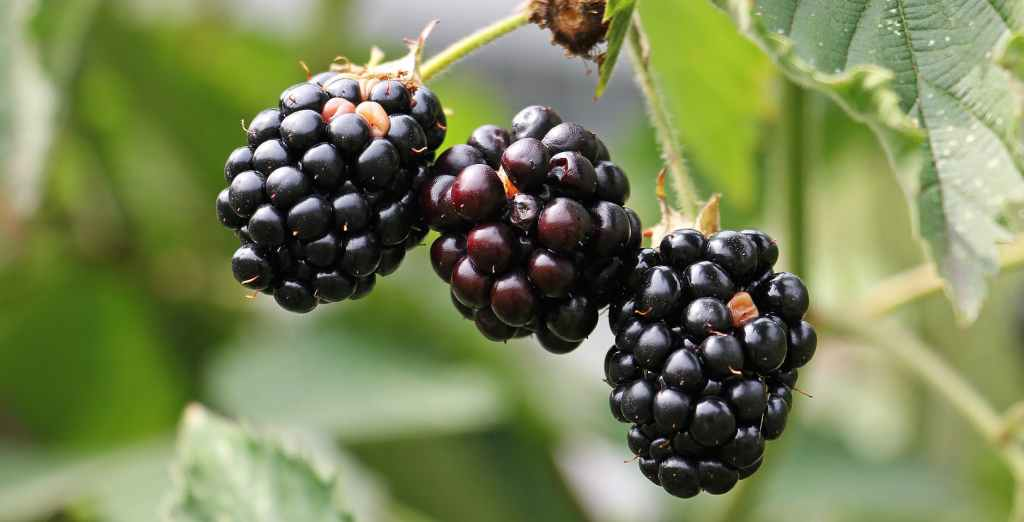 8 Amazing actions that blackberries do for your body.