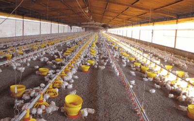 Innovación continua de los sistemas para la producción avícola