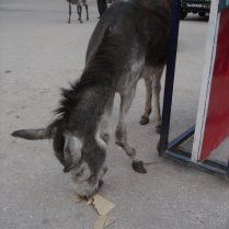 A donkey on the streets of Shimla