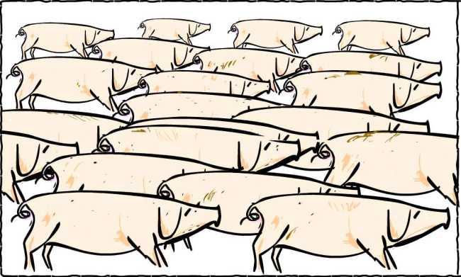 Massor av grisar går till höger