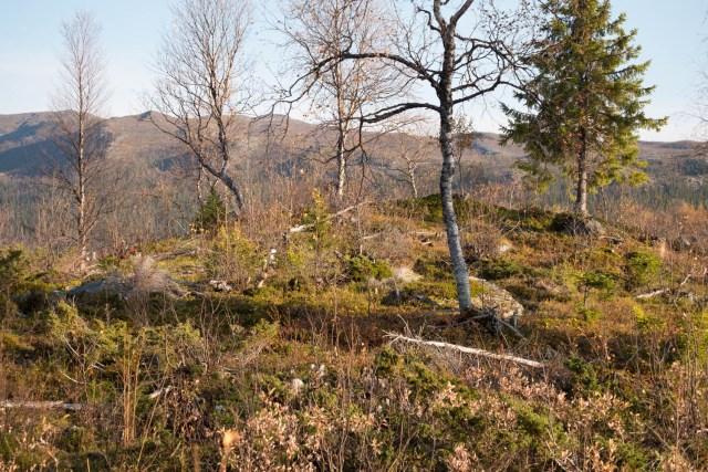 En kulle där det fanns en gammal lämning av en kåta