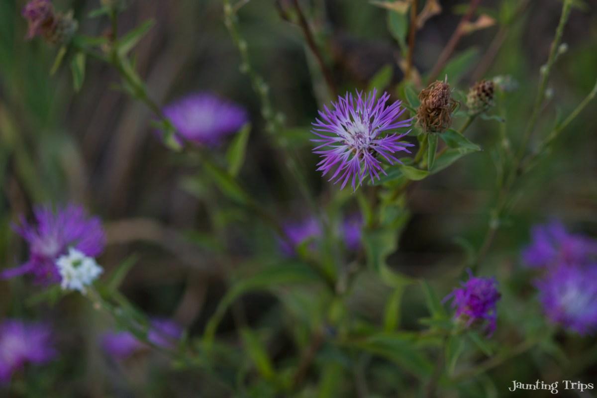 purple-flower-vacaresti-park