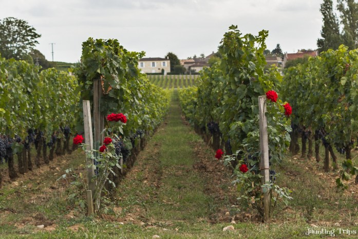 roses-vineyard-soutard