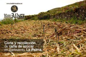 Corte Recolección Caña de Azúcar · Proceso de Elaboración Ron Aldea · La Palma · Islas Canarias