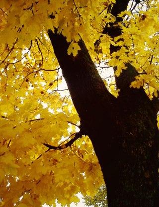 žuto-drvo
