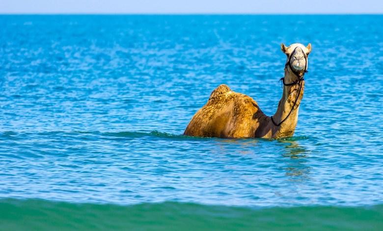 هل سبق أن سمعت عن السباحة مع الإبل؟..يحدث في سلطنة عمان!