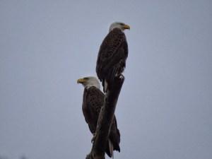 eagle_Wanda_5
