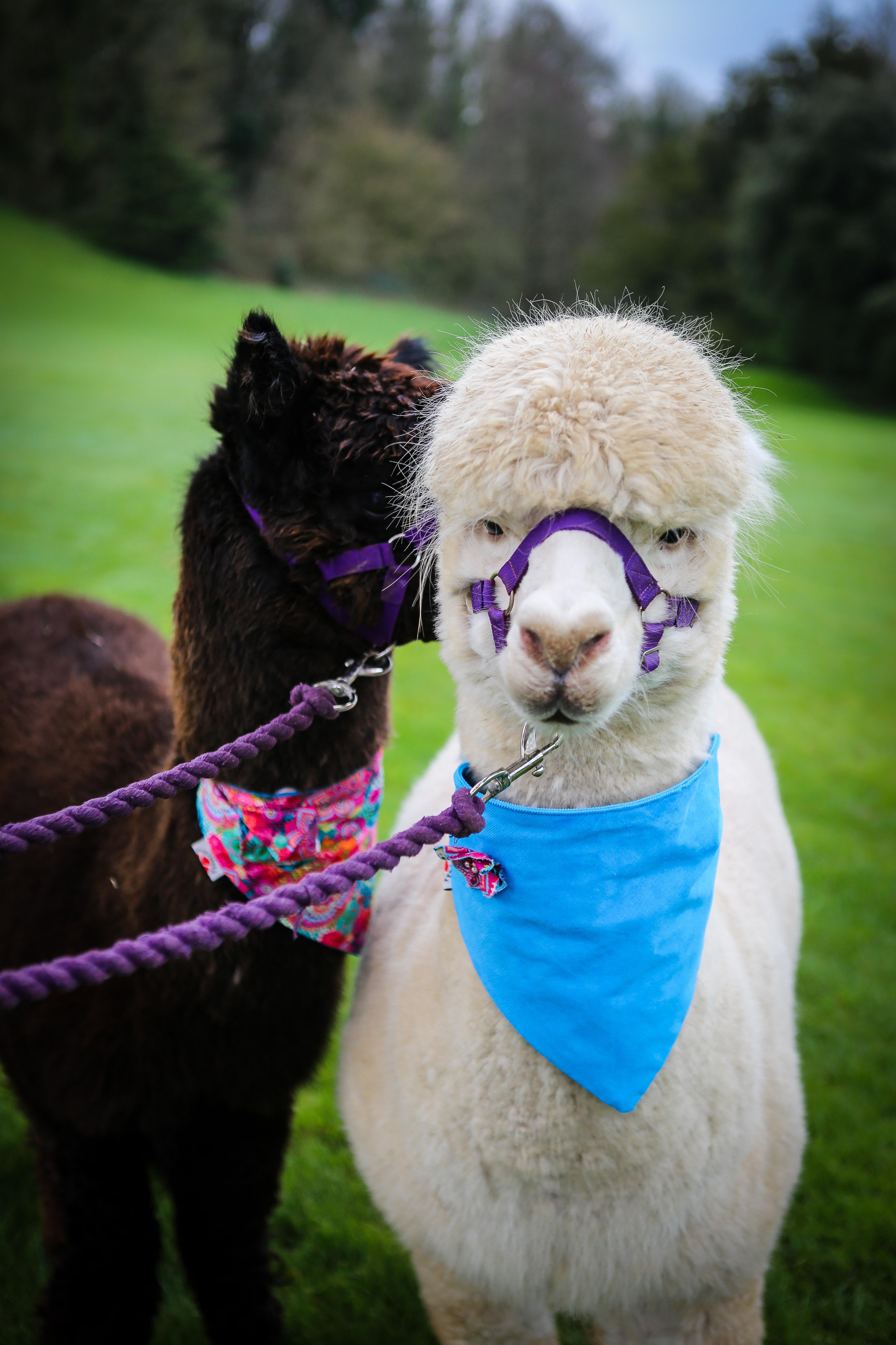 Alpacas wearing neck ties