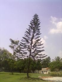 The huge tree !