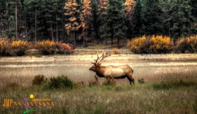 Elk during Rut Season