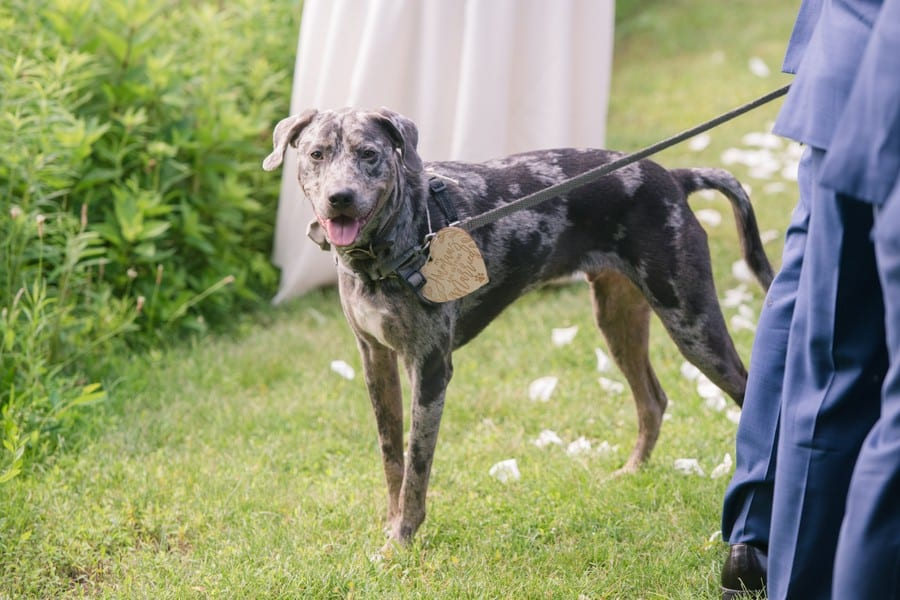 """The dog of the bride and groom on a leash with a personalized tag saying """"my humans are getting married"""" around his neck"""