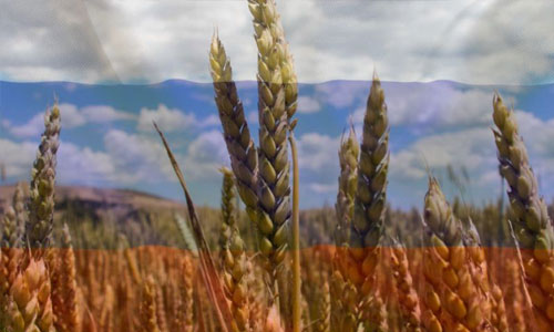 Russia's-wheat-export-tax-expected-to-deliver-big-pay-day-for-Australian-farmers-1