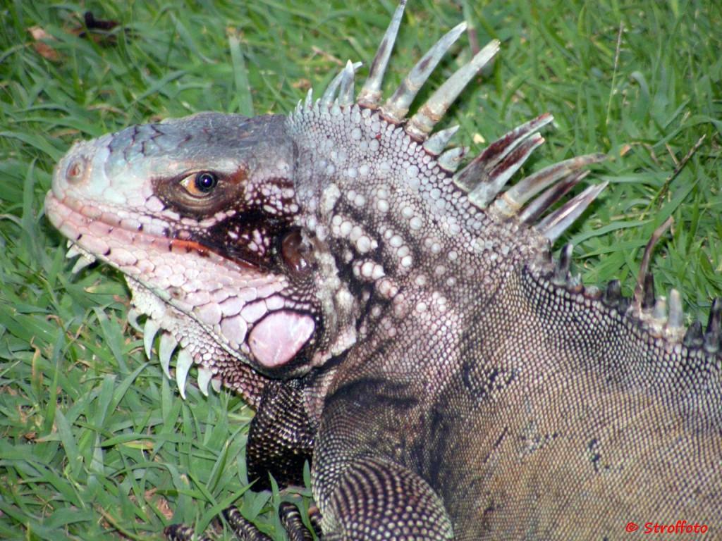 Iguana in St. Thomas USVI