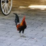 Key West Rooster