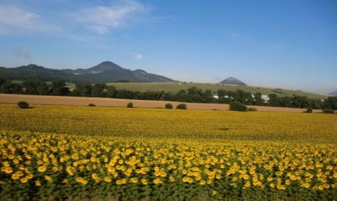 słoneczniki w Rumunii