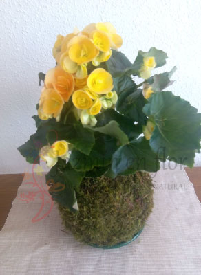 Kokedama Begonia Elatior