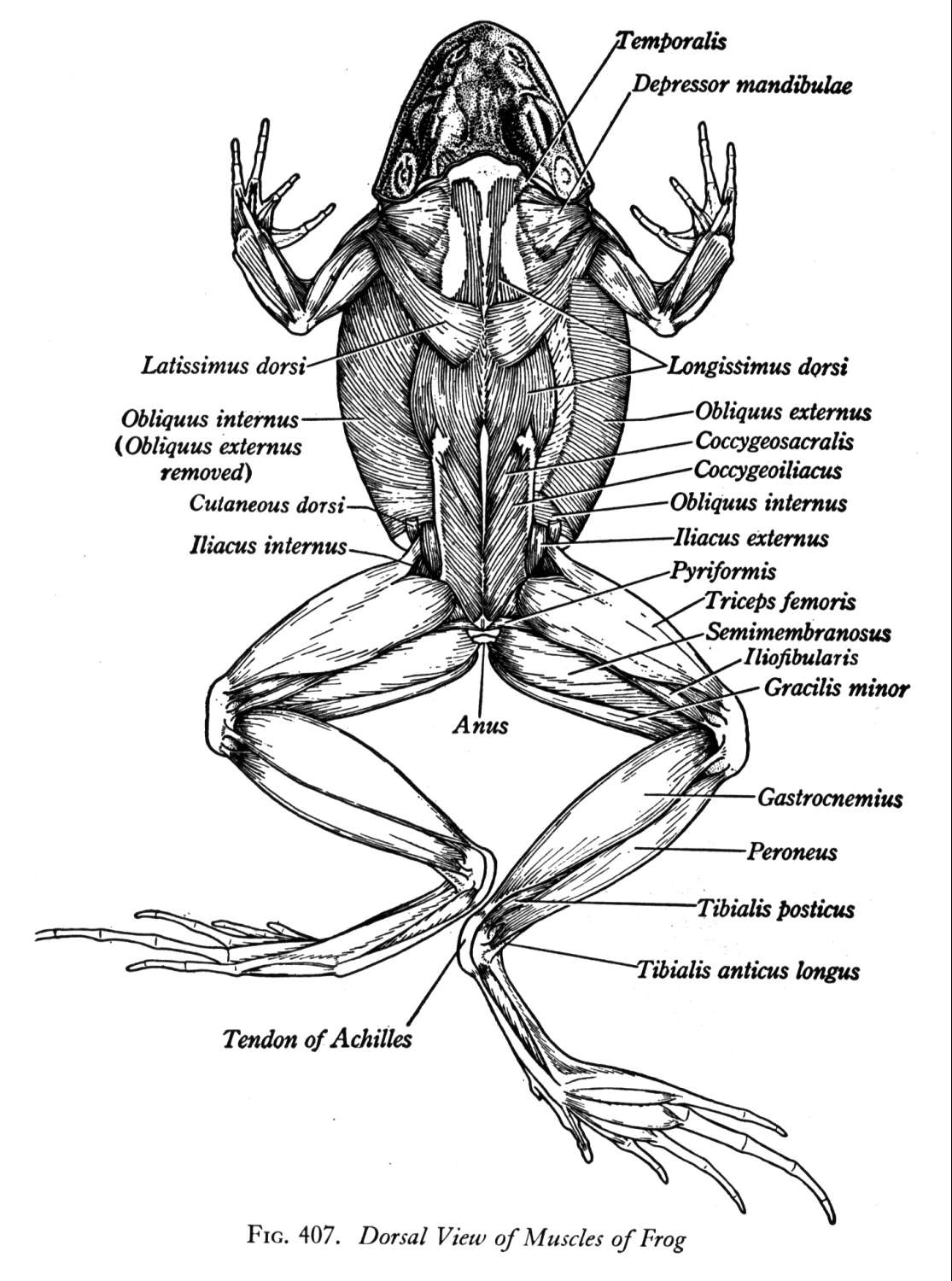 Frog Muscle Dorsal Diagram Sketch Coloring Page