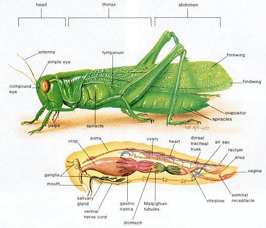 Grasshopper Dissection Lab Companion