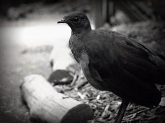 HealesvilleLyrebird - Copy