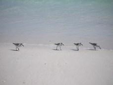 Sanderlings (Calidris alba)