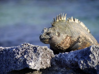 Marine iguanas expel the excess of salt ingested during foraging in the sea by sneezing it out once they are back on land.