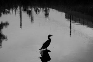 Cormorant on a Bucket
